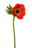 Flor vermelha Fotos de Stock