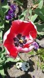 Flor vermelha Fotografia de Stock