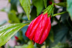Flor vermelha Imagens de Stock