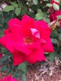 A flor vermelha imagem de stock royalty free