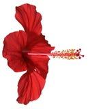 Flor vermelha agradável Fotografia de Stock
