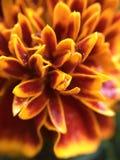 Flor vermelha, amarela, alaranjada Fotos de Stock Royalty Free