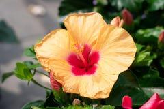 Flor vermelha amarela do hibiscus na flor completa imagens de stock
