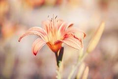 Flor vermelha amarela mágica sonhadora feericamente colorida bonita, fundo obscuro Foto de Stock