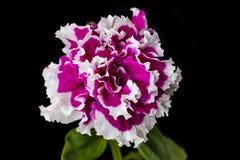 Flor vermelha bonita Imagens de Stock