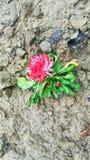 Flor vermelha bonita Foto de Stock