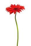 Flor vermelha bonita Imagem de Stock