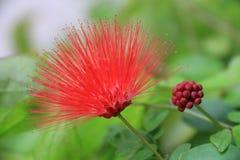 Flor vermelha bonita Imagem de Stock Royalty Free