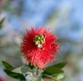 Flor vermelha bonita com as duas abelhas que procuram o mel fotos de stock