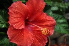 Flor vermelha bonita com chuva fresca fotografia de stock royalty free