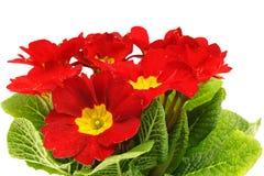 Flor vermelha bonita da prímula Fotografia de Stock Royalty Free