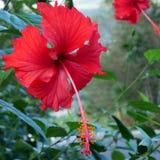 A flor vermelha bonita da sapata Fotos de Stock Royalty Free
