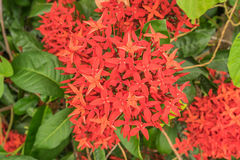 Flor vermelha bonita de Ixora (sp de Ixora ) Fotografia de Stock Royalty Free