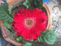 A flor vermelha bonita do gerbera é coração dado forma no potenciômetro marrom foto de stock