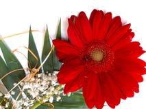 Flor vermelha bonita do gerbera no fundo branco fotos de stock royalty free