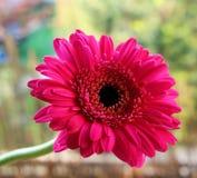 Flor vermelha bonita do gerbera no jardim Conceito da natureza Fundo borrado Imagem de Stock