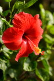 Flor vermelha bonita do hibiscus Foto de Stock Royalty Free