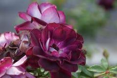 Flor vermelha bonita em Los Angeles fotografia de stock royalty free