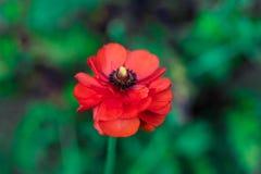 Flor vermelha bonita no fundo blury verde foto de stock