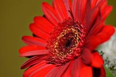 Flor vermelha bonita que mostra lhe sua beleza Fotos de Stock