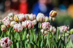 Flor vermelha branca da tulipa da tira Foto de Stock Royalty Free