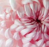 Flor vermelha branca do crisântemo closeup Macro Fotos de Stock Royalty Free