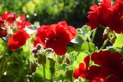 Flor vermelha brilhante Fotografia de Stock