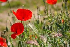 Flor vermelha brilhante da papoila com o botão no campo na natureza na luz solar imagem de stock royalty free