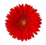 Flor vermelha brilhante do gerbera isolada no fundo branco Imagem de Stock