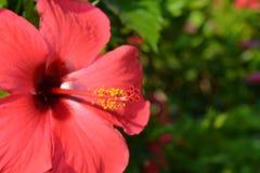 Flor vermelha brilhante do hibiscus, close-up imagens de stock royalty free