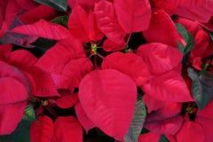 Flor vermelha brilhante do Natal ou pulcherrima mexicano do eufórbio da poinsétia a planta popular do feriado, fundo abstrato da  fotografia de stock royalty free