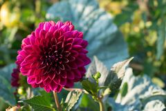 Flor vermelha brilhante grande da d?lia no fundo verde foto de stock