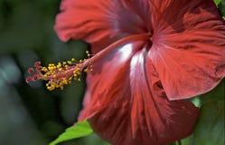 Flor vermelha com botões amarelos imagem de stock