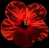 Flor vermelha com núcleo amarelo Fotos de Stock Royalty Free
