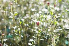 Flor vermelha com os botões verdes no fundo borrado Fotos de Stock