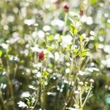 Flor vermelha com os botões verdes no fundo borrado Foto de Stock