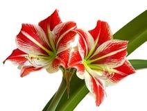 Flor vermelha com pistil amarelo imagens de stock