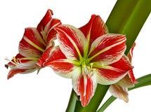 Flor vermelha com pistil amarelo fotografia de stock royalty free