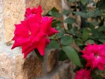 Flor vermelha contra uma parede de pedra foto de stock royalty free