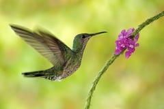 Flor vermelha cor-de-rosa seguinte (fêmea) Branco-necked de Jacobin do colibri do voo, mellivora de Florisuga, Costa Rica Fotos de Stock Royalty Free