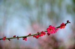 Flor vermelha da ameixa Fotografia de Stock Royalty Free