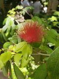 Flor vermelha da bola do fluff foto de stock royalty free