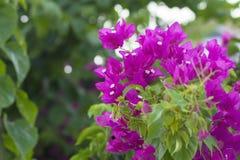 Flor vermelha da buganvília Foto de Stock Royalty Free