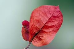 Flor vermelha da buganvília Fotos de Stock Royalty Free