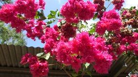 Flor vermelha da buganvília Imagem de Stock