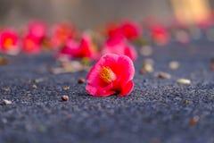Flor vermelha da camélia na estrada, Coreia do Sul imagem de stock