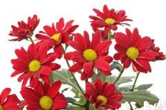 Flor vermelha da camomila isolada no branco Fotos de Stock