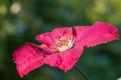 Flor vermelha da clematite do clarete Imagens de Stock