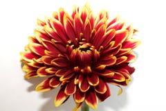 Flor vermelha da dália com close-up amarelo das pontas foto de stock