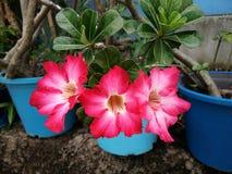A flor vermelha da flor do Adenium, deserto aumentou foto de stock royalty free